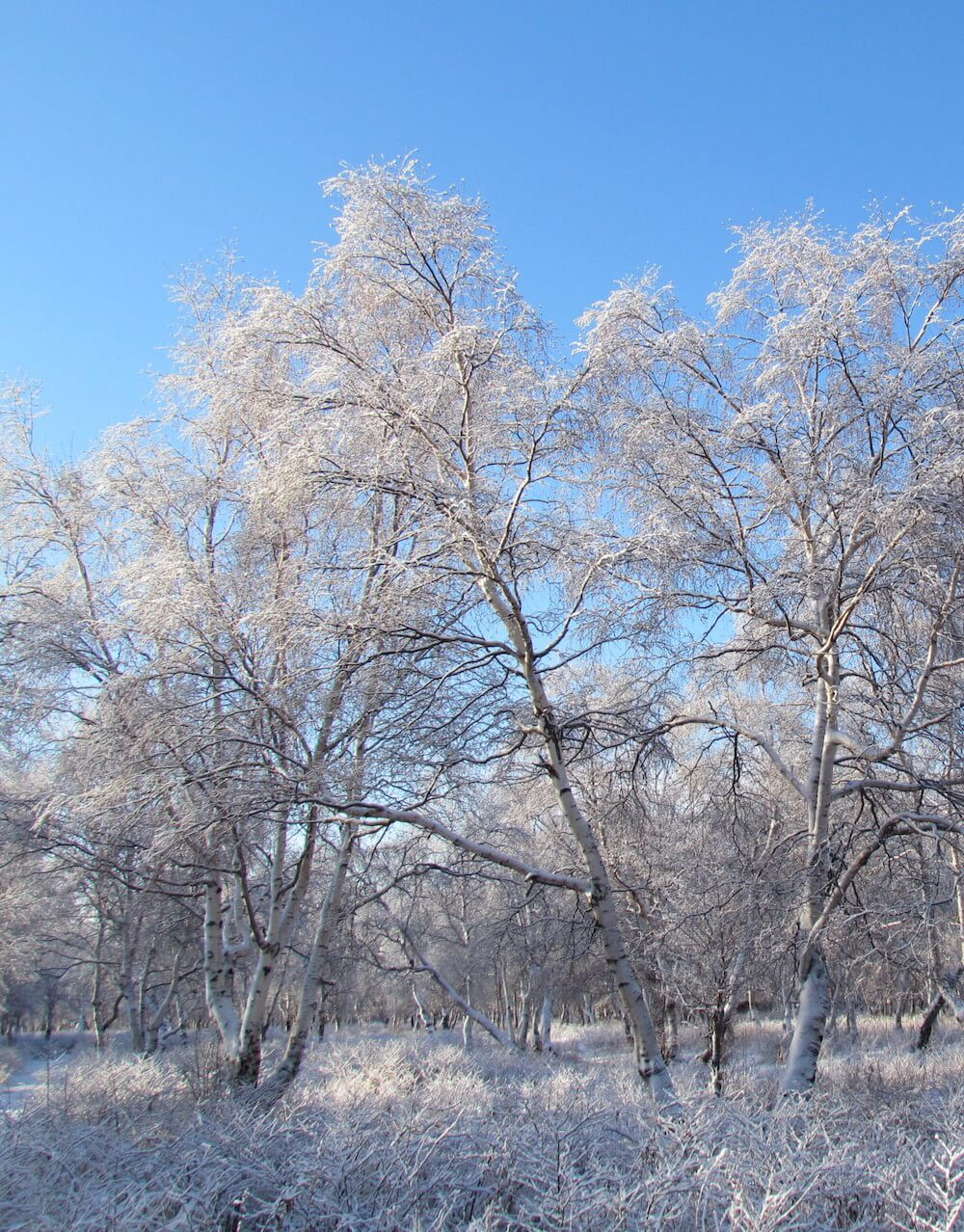 Stone birches in snow. Russia.is